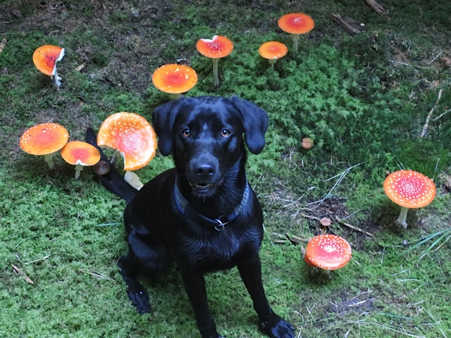 Ein Hund sucht Pilze, ja das macht Miss Lomax, der schwarze Labrador der Autorin Shirley Michaela Seul und man kann nur hoffen, dass der Hund sich nicht vergiftet und weiterhin seinen Hundeblog führt unter www.flipper-privat.de