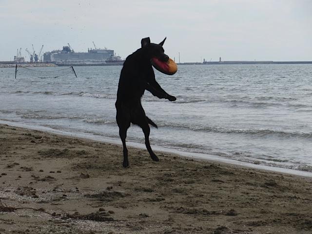 Auch im Urlaub ist Miss Lomax, der schwarze Labrador der Autorin Michaela Seul, die einen Hundeblog führt bei www.flipper-privat.de nicht untätig und fängt fleißig Frisbee