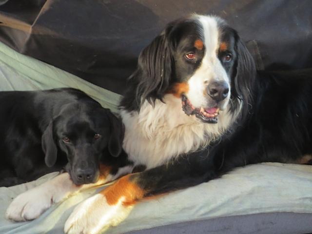 Miss Lomax findet die Pfoten ihres Kumpels Moll, auf dem die Muse der Schriftstellerin Shirley Michaela Seul ruht, die auch einen Hundeblog führt unter www.flipper-privat.de sehr bequem