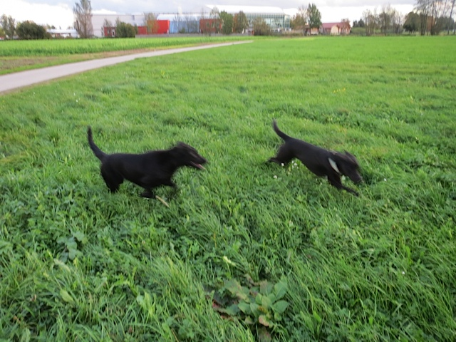 Wir können auch wischen, nicht nur die Smartphoniker, das sagt euch Miss Lomax, schwarze Muse und ihres Zeichens Labrador der Schriftstellerin Shirley Michaela Seul, die einen Hundeblog führt unter www.flipper-privat.de
