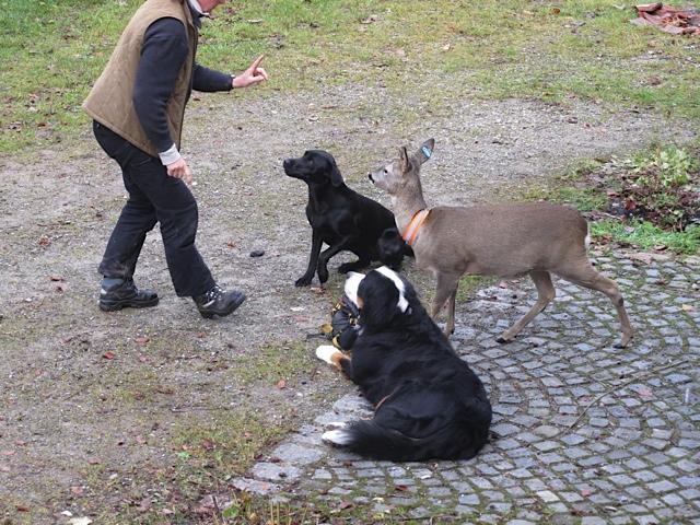 Hund und Reh – und wer muss Sitz mache, der Hund. Das Reh darf stehen bleiben. Das findet Miss Lomax, die schwarze Muse der Schriftstellerin Shirley Michaela Seul, die auch einen eigenen Hundeblog führt unter www.flipper-privat.de sehr ungerecht!