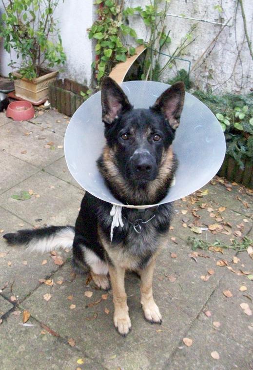 Hundefreund Chino von Miss Lomax, die einen Hundeblog führt unter www.flipper-privat.de trägt eine Halskrause