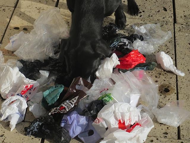 Miss Lomax durchschnüffelt ihre Hinterlassenschaftstüten für den Blog www.flipper-privat.de