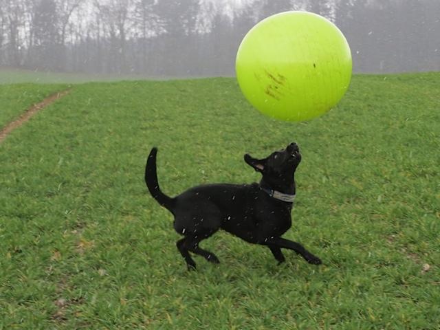 Miss Lomax jongliert mit einem gelben Ball und bloggt das auf ihrem Hundeblog mit Michaela Seul www.flipper-privat.de