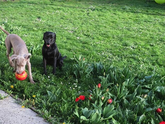 Sie nennen meinen Freund Brüno oder Brünello und ich bin Miss Lomax, der schwarze Labrador von Michaela Seul, die unter www.flipper-privat.de einen Hundeblog führt