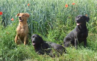 Labradore in der Wiese auf www.flipper-privat.de