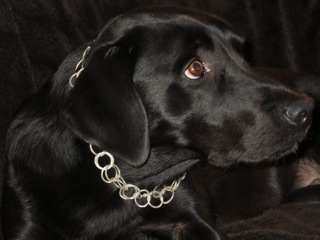 Labrador mit Kette auf https://shirley-michaela-seul.de