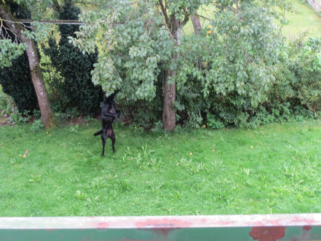 Hund erntet Zwetschgen